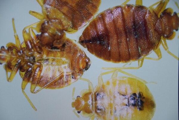 Los investigadores consideran posible que especímenes de este insecto vinieran al país ocultos en maletas o ropa de viajeros. Foto: Anel Kenjekeeva