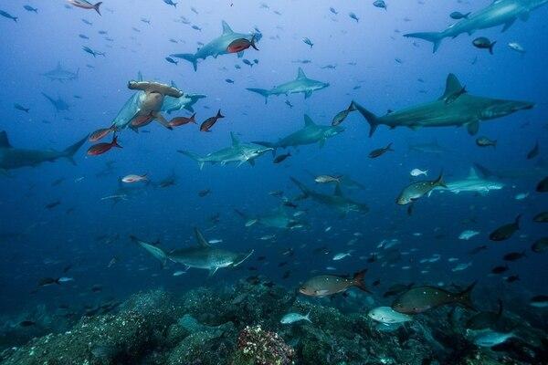 El tiburón martillo es un depredador con una peculiar cabeza que le sirve para mejorar su capacidad a la hora de encontrar presas. Ademas, sus grandes ojos le confieren un mayor alcance visual que a la mayoría de sus parientes. Fotos: Fundación Pacífico para LN.