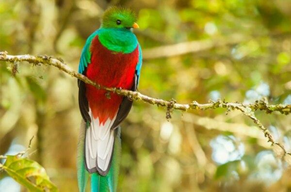 El quetzal es el rey de las alturas costarricenses. Está presente en Savegre en San Gerardo de Dota y Monteverde.