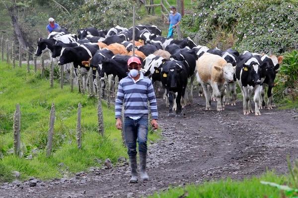 Adolfo Carvajal, vecino de San Gerardo de Irazú, encontró el ganado que tiene a su cargo en malas condiciones. Las vacas tenían los ojos y las fosas nasales con ceniza. Asimismo, estaban hambrientas porque no podían consumir el pasto y el agua cubierta de ceniza.   RAFAEL PACHECO.