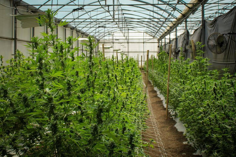 El control de la temperatura, la luz y el agua, entre otros aspectos, es fundamental en el cultivo de cáñamo, una variedad de Cannabis, según resultados preliminares de los ensayos en Costa Rica. Foto: Cortesía del INTA