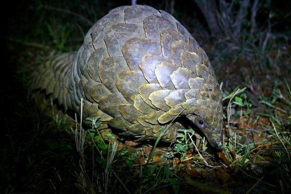 El pangolín es una de las especies altamente comerciadas de forma ilegal y que se encuentra en peligro. Foto: Shutterstock