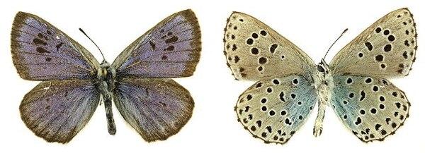 La grande azul (Phengaris arion) es una especie de mariposa de la familia de las Lycaenidae.