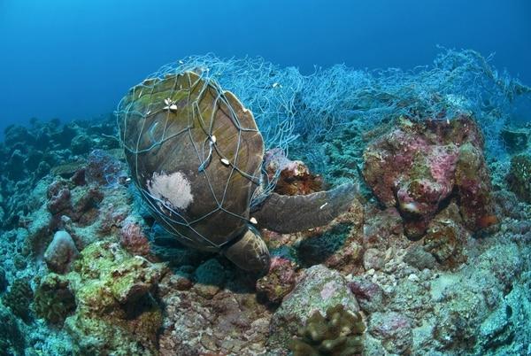 Peces y tortugas quedan atrapados en las redes para pescar camarón. Foto: Cortesía de MarViva.