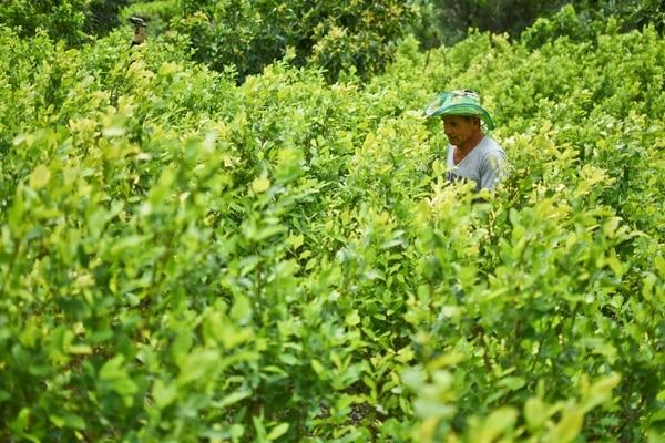 Diositeo Matitui, un cocalero de 67 años, trabaja en su campo de coca en una zona rural de Policarpa, departamento de Narino, Colombia.