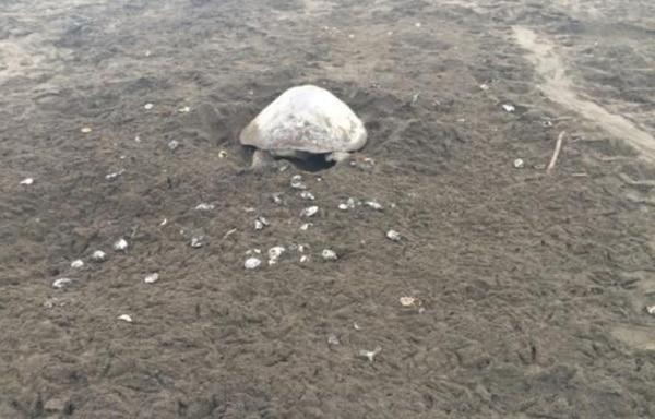 Por el corto tiempo entre una y otra arribada, las nuevas tortugas excavaron en sitios donde ya habían nidos.   CORTESÍA DE SINAC
