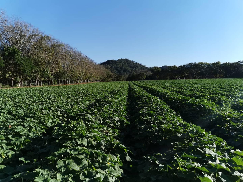Hacia el 2006, Costa Rica registró unas 12.000 hectáreas de melón, actividad que brinda trabajo en áreas con pocas fuentes de empleo. Al cierre del año pasado, apenas habían 3.394 hectáreas cultivadas. Foto: Cortesía