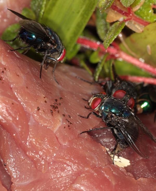 Las moscas carroñeras son las que ponen sus huevos en los cuerpos. Foto: Cortesía DCF OIJ.
