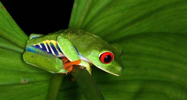 Costa Rica solamente conoce el 18% de su biodiversidad, de la cual forma parte esta rana de ojos rojos, captada en La Selva. Foto cortesía Carlos Luis de la Rosa, director de La Selva