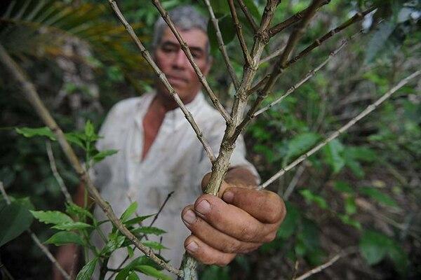 En el 2013, un 64% de las plantaciones de café sufrió ataque de roya de diferente incidencia. En Turrialba, José Francisco Molina mostró, en aquella ocasión, los daños por el hongo.