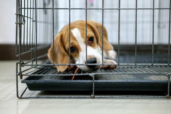 La organización denunció que un experimento involucra a 36 perros de raza beagle que son utilizados en una prueba de pesticidas. Foto con fines ilustrativos. Shutterstock