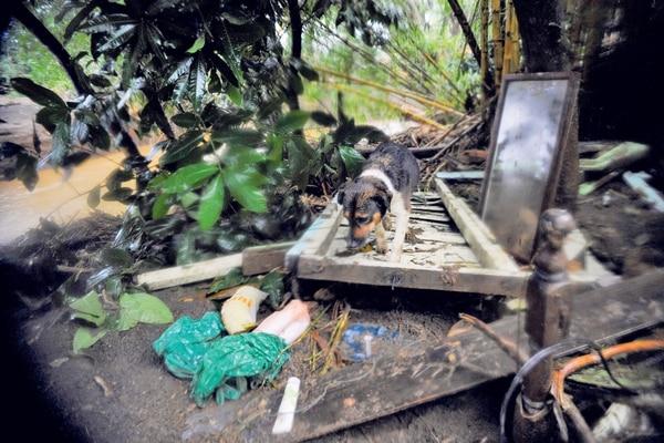 Mascotas y animales de producción también fueron víctimas del huracán Otto.