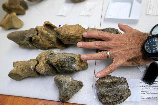 Estos son algunos de los huesos de la mano de un perezoso gigante en comparación con el tamaño de una mano humana. Foto: Rafael Pacheco