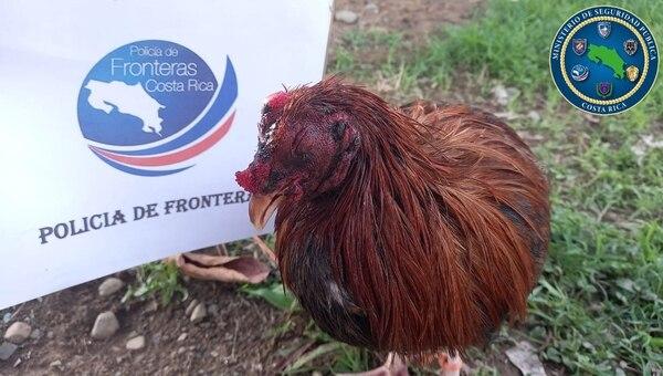 Uno de los gallos rescatados en Talamanca. Foto: MSP