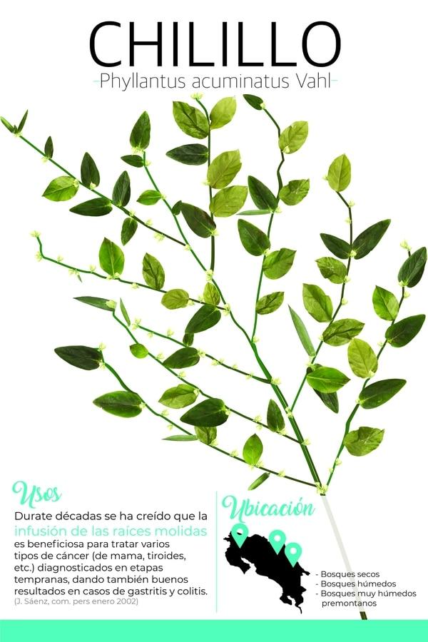 Los especímenes de la grosella de Jamaica, jobillo o barbasco (Phyllanthus acuminatus), son conocidos en Costa Rica como chilillo. Estos son arbustos o árboles pequeños que alcanzan un tamaño de dos a ocho metros de alto. Foto: ITCR para LN.