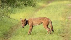 Coyotes de Guanacaste ayudarían a explicar la expansión de estos animales a zonas urbanas y otros países