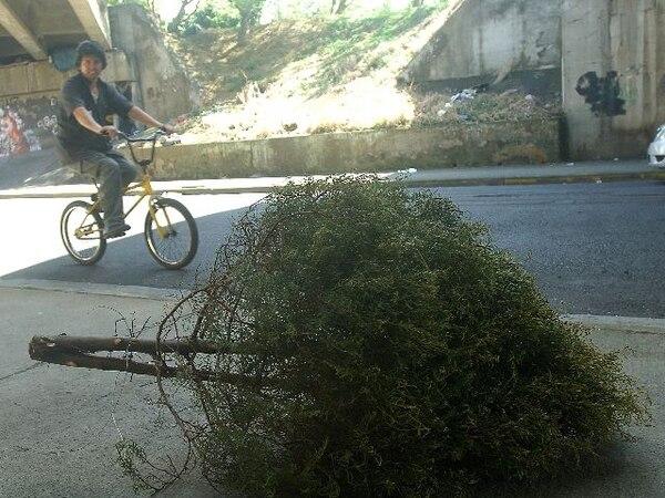 Los cartagineses no tienen que dejar su árbol en la calle. | ARCHIVO