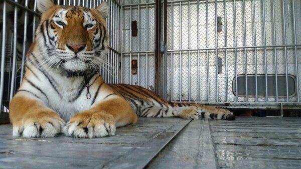 Los tigres se encuentran en un espacio que tiene el Circo Hermanos Suárez en Nicaragua.