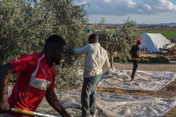 Es temporada de cosecha y recolección de aceitunas en la población grecochipriota de Agios Ioannis, en las cercanías de Nicosia.