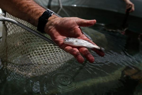 El investigador Marvin Ramírez extrae corvinas de un estanque en el Laboratorio de Cultivo y Reproducción de Peces Marinos, esto con el fin de recopilar datos biométricos (tamaño y peso).
