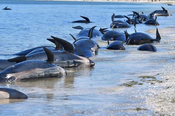 Una veintena de ballenas rescatadas el viernes murieron así el sábado.