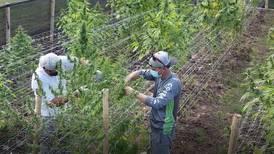 Desarrollar industria del cáñamo en Costa Rica sería posible en sociedad con transnacionales