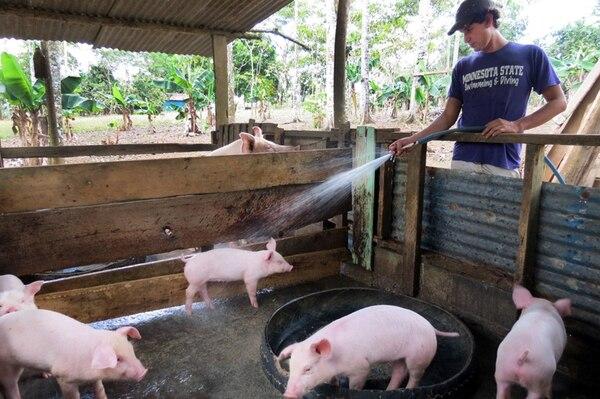 En la producción de cerdos, un 85% del costo total de producción es por la alimentación. La cámara del sector dice que ya se siente el impacto del alza en soya y maíz, básicos para elaborar el concentrado.   ARCHIVO/CARLOS HERNÁNDEZ