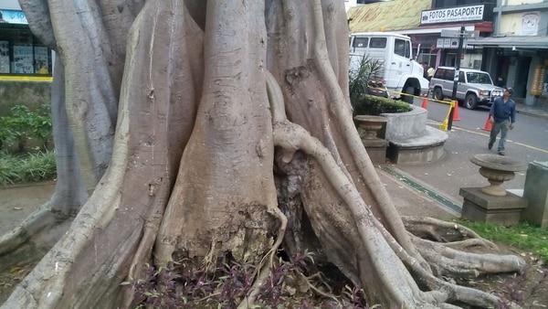 Un higuerón de ocho metros de altura será talado del parque Morazán por la municpalidad de San José por daños en sus raíces, asegura su estudio forestal.