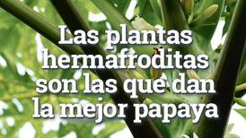 Científicos ticos identifican sexo de las papayas para mejorar su producción