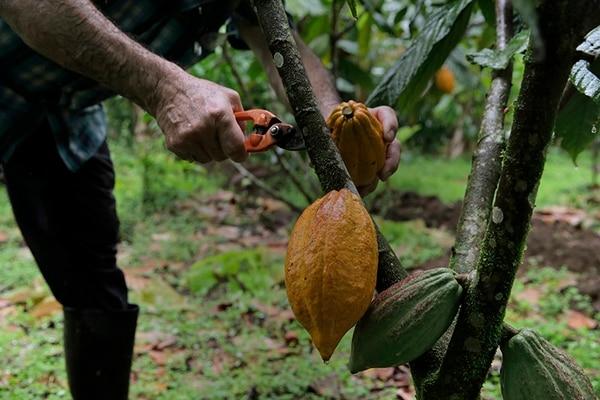 Según el último Censo Agropecuario, realizado en 2014, había 3.169 hectáreas dedicadas al cultivo de cacao.