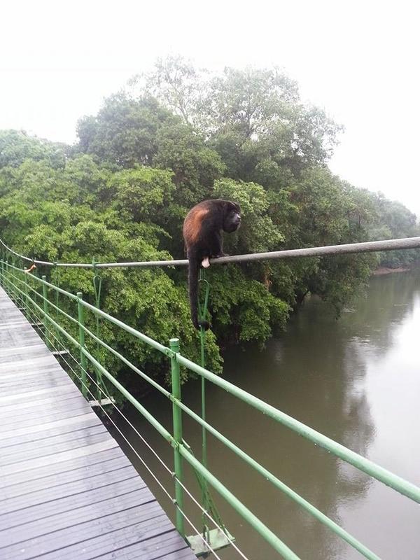 Un mono congo reposo en el puente Stone Bridge, el cual se encuentra ubicado por encima del cauce del río Puerto Viejo Foto: Cortesía La Selva