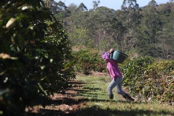La recolección del café es una de las actividades que más mano de obra requiere. Este año la necesidad se estimó en 33.650 personas. Aquí la recolección en Sabanilla de Alajuela, en el beneficio Santa Eduviges. Foto: John Durán