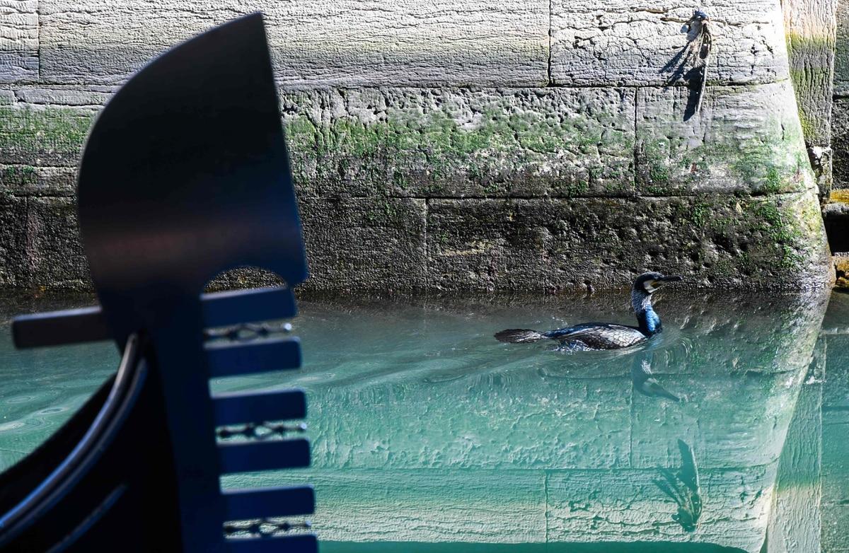 17/03/2020. Un pájaro marino nada sobre las aguas claras de Venecia, donde el parón de actividad de las góndolas ha instaurado una calma que le da la bienvenida a la naturaleza. Foto: Andrea Pattaro / AFP.