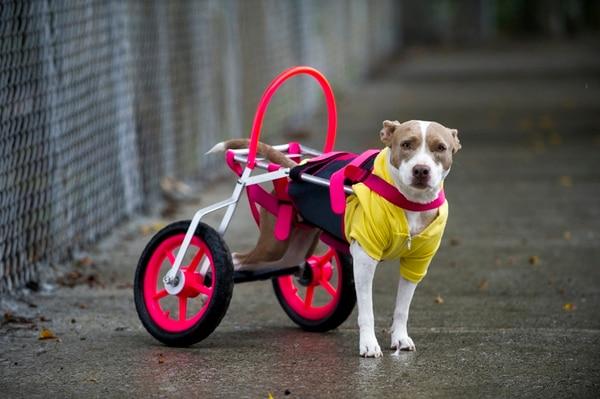 Este año, Grey perdió completamente la movilidad en sus patas traseras y por eso utiliza una andadera para desplazarse. Sin embargo, aún no se pierde la esperanza de volver a verla caminar y por eso va a terapia cuatro veces a la semana. | LUIS NAVARRO