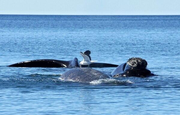 Gaviotas se alimentan de grasa de ballenas