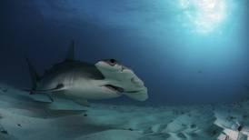 Costa Rica fija moratoria de un año a exportación de aletas de tiburón martillo
