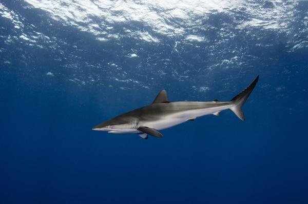 El tiburón sedoso es una especie de interés comercial en el Pacífico Tropical Oriental. | SHUTTERSTOCK