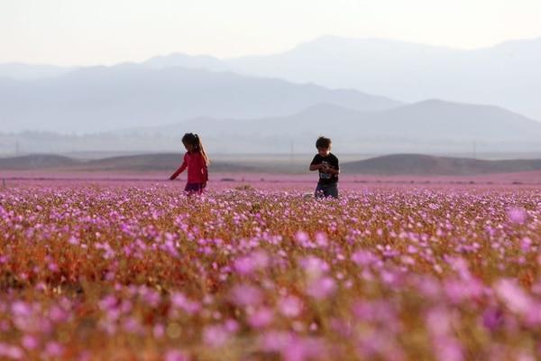 El fenómeno de floración ha sido particularmente extenso este año.