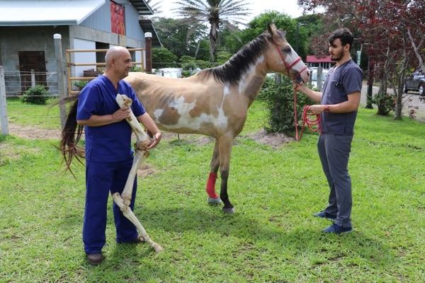 Según el estudio del médico veterinario Rafael Vindas (primer plano) la rodilla y la tuberosidad coxal del caballo, son modelos representativos para estudiar la regeneración del cartílago que se podrían usar en la salud pública (foto O.C-UNA).
