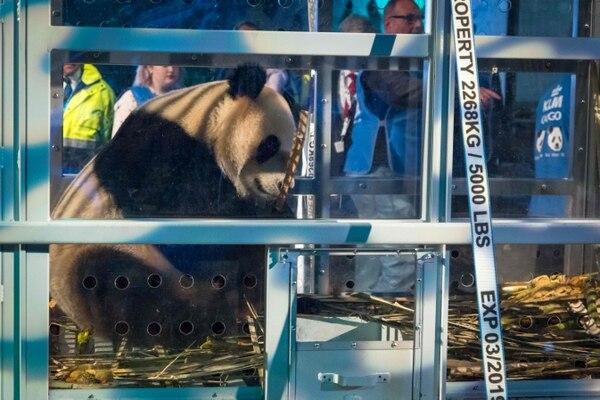 La pareja de pandas permanecerá en cuarentena durante seis semanas.