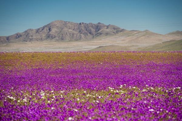 El desierto de Atacama, en el norte de Chile, muestra su alfombra florida que brota como consecuencia de la caída de fuertes lluvias.