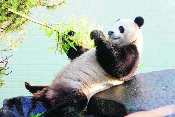 Los amantes de los pandas podrán seguir el comportamiento de estos animales gracias a transmisiones por Internet.