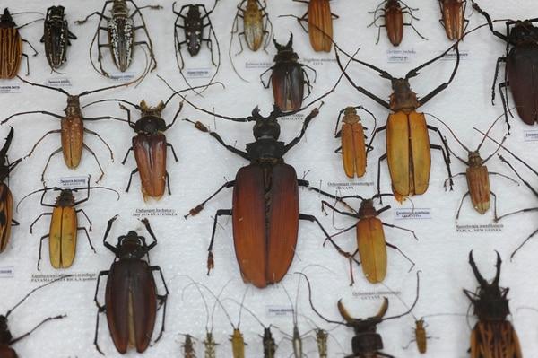Como parte de la muestra, se pueden encontrar arañas, ciempiés, mariasecas y el escarabajo más grande el mundo. | JORGE NAVARRO