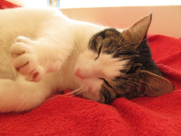 Estudio analizó muestras de sangre y polvo al que están expuestos los gatos domésticos.