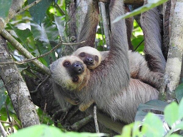 Una perezosa de tres dedos y su cría (Bradypus variegatus) dentro del Parque Nacional Corcovado. Los animales silvestres, en general, se muestran a los turistas sin temor a ser agredidos. Foto: Cortesía de Surcos Tours