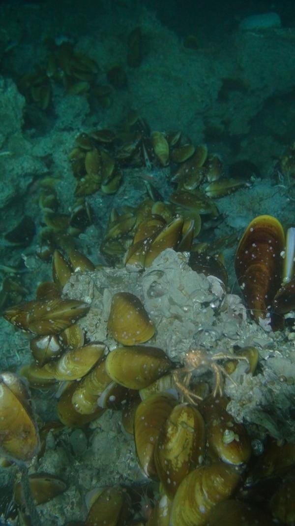 También se vieron mejillones de profundidad acompañados por un cangrejo. | CORTESÍA DE JORGE CORTÉS