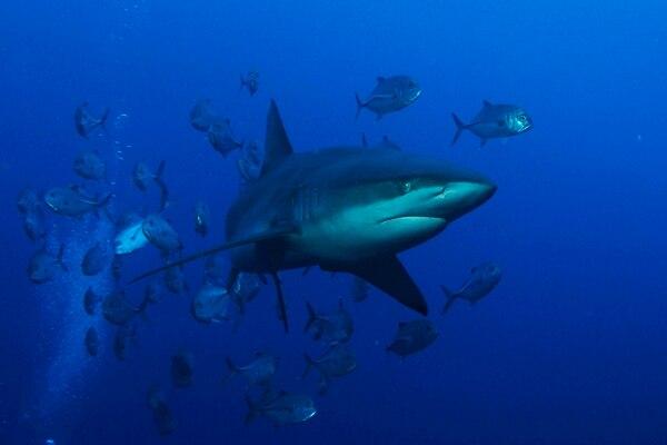 Al entrar y salir del parque nacional, los tiburones pelágicos corren más riesgo de ser capturados por las pesquerías en el Pacífico Oriental Tropical. | CORTESÍA DE SHMULIK BLOOM /UNDERSEAHUNTER GROUP