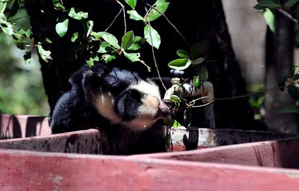 La falta de agua, que en los últimos años se vive en Guanacaste, impacta también a los animales, como los monos cariblancos que llegan a las pilas de la Casona de Santa Rosa a hidratarse. Fotografía: Alonso Tenorio