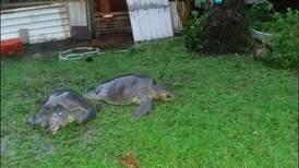 Tortugas 'tocaron' a la puerta de un vecino en Ostional