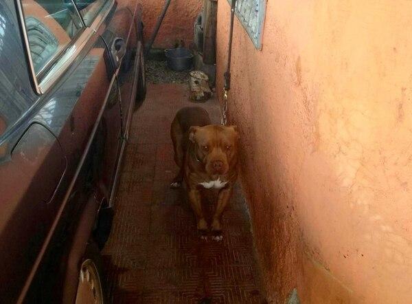 El perro quedó en manos de Senasa, donde analizarán su peligrosidad y conducta para definir su futuro. Foto: MSP.